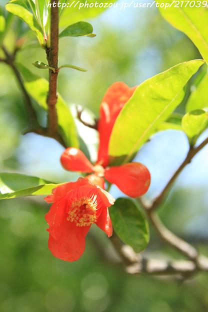 IMG_5645日本庭園・花しょうぶ田・石榴