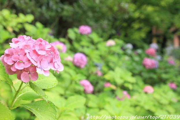 IMG_5769紫陽花