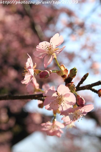 IMG_7963東寺(教王護国寺)(左大寺)・河津桜
