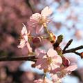 Photos: IMG_7963東寺(教王護国寺)(左大寺)・河津桜