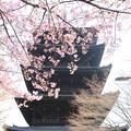 写真: IMG_7965東寺(教王護国寺)(左大寺)・河津桜と五重塔(国宝)