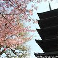 写真: IMG_7967東寺(教王護国寺)(左大寺)・河津桜と五重塔(国宝)
