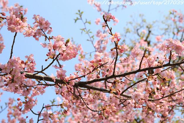IMG_7975東寺(教王護国寺)(左大寺)・河津桜