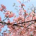 Photos: IMG_7975東寺(教王護国寺)(左大寺)・河津桜