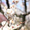 Photos: IMG_7983東寺(教王護国寺)(左大寺)・白梅
