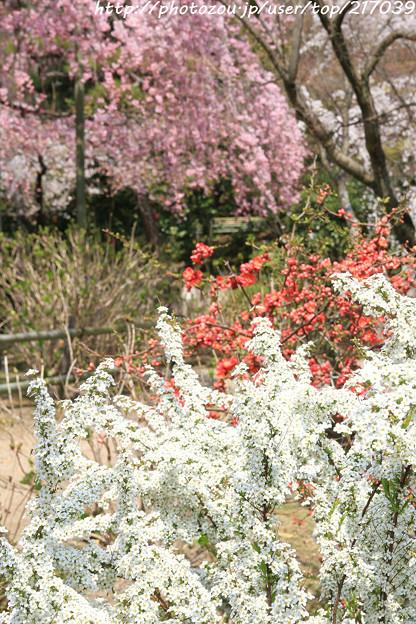 IMG_8063法金剛院・雪柳と木瓜と待賢門院桜