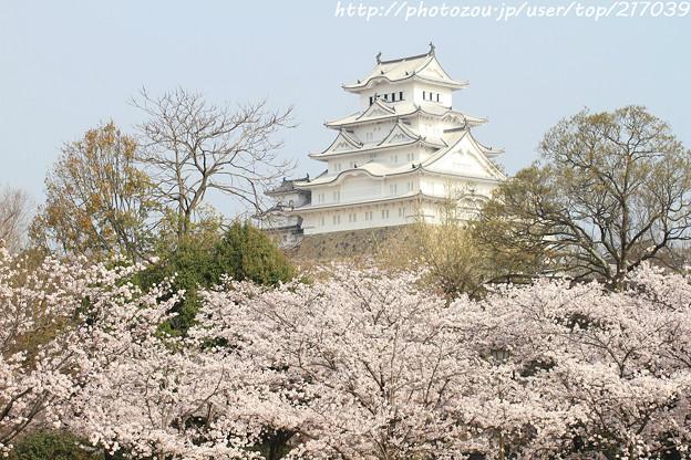 IMG_8082東御屋敷跡公園・姫路城(国宝)と染井吉野