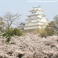 写真: IMG_8082東御屋敷跡公園・姫路城(国宝)と染井吉野