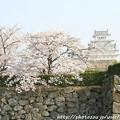 写真: IMG_8091姫路城(国宝)と染井吉野
