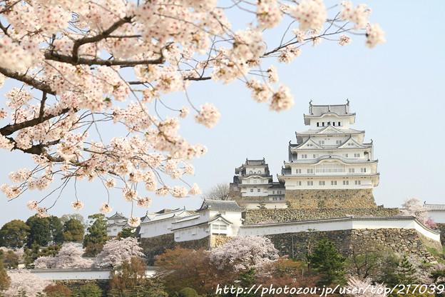 IMG_8099三の丸広場・姫路城(国宝)と染井吉野
