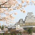 写真: IMG_8099三の丸広場・姫路城(国宝)と染井吉野