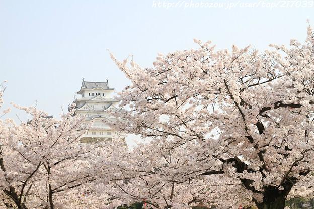 IMG_8103三の丸広場・姫路城(国宝)と染井吉野