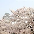 写真: IMG_8103三の丸広場・姫路城(国宝)と染井吉野