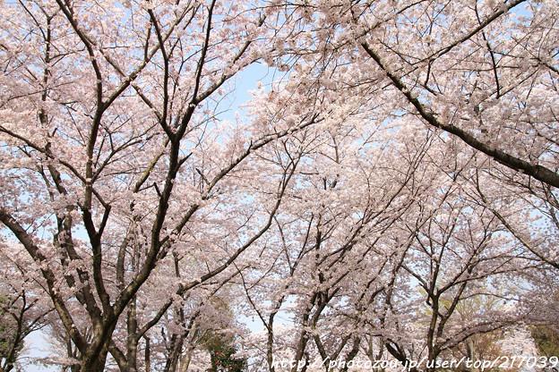 IMG_8112千姫ぼたん園・染井吉野