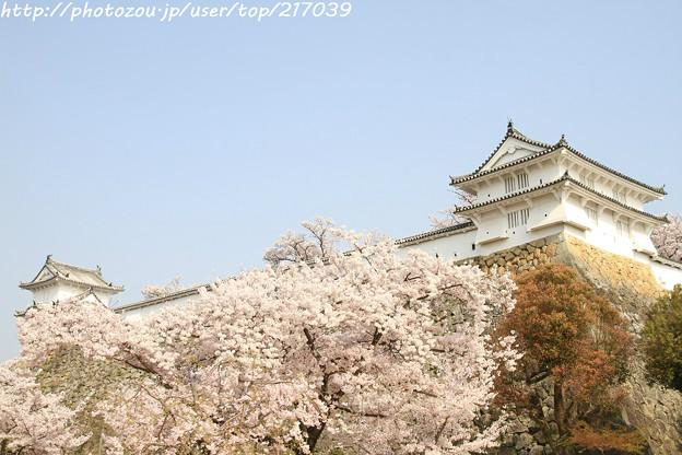IMG_8114姫路城・染井吉野