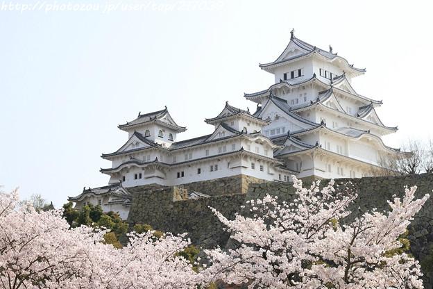 IMG_8129姫路城(国宝)と染井吉野