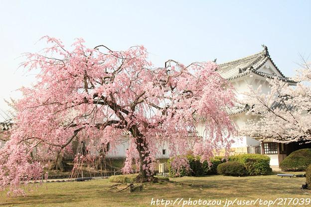 IMG_8132西の丸・紅枝垂桜
