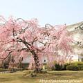 Photos: IMG_8132西の丸・紅枝垂桜