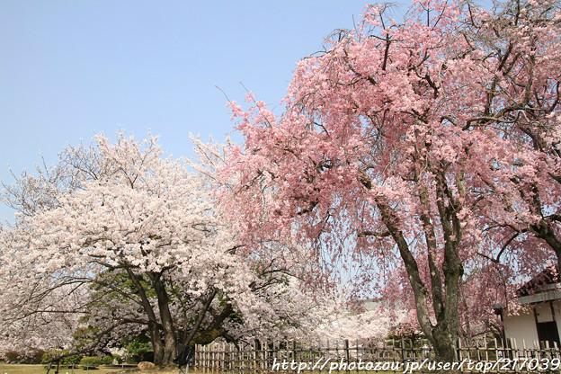 IMG_8144西の丸・紅枝垂桜と染井吉野
