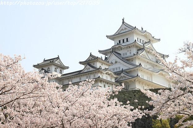 IMG_8147姫路城(国宝)と染井吉野