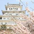 写真: IMG_8161彦根城(国宝)と染井吉野