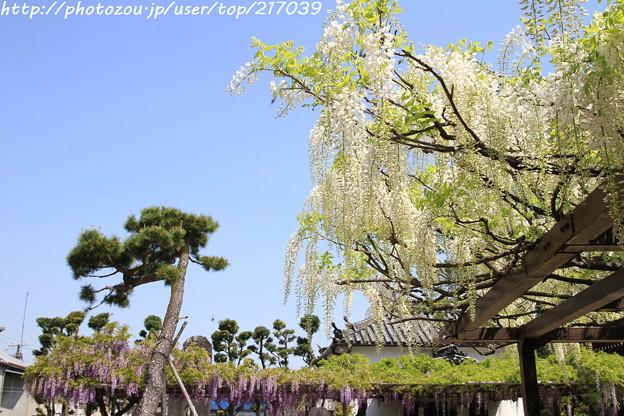 IMG_8208葛井寺・藤