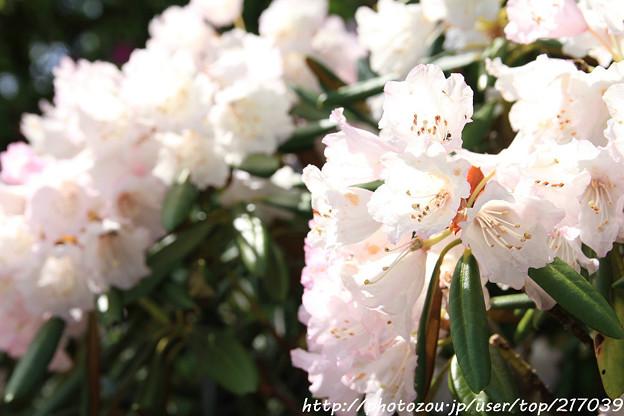 IMG_8271花の郷 滝谷花しょうぶ園・石楠花