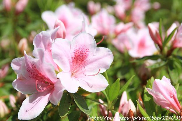 IMG_8276花の郷 滝谷花しょうぶ園・平戸躑躅
