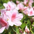 写真: IMG_8276花の郷 滝谷花しょうぶ園・平戸躑躅