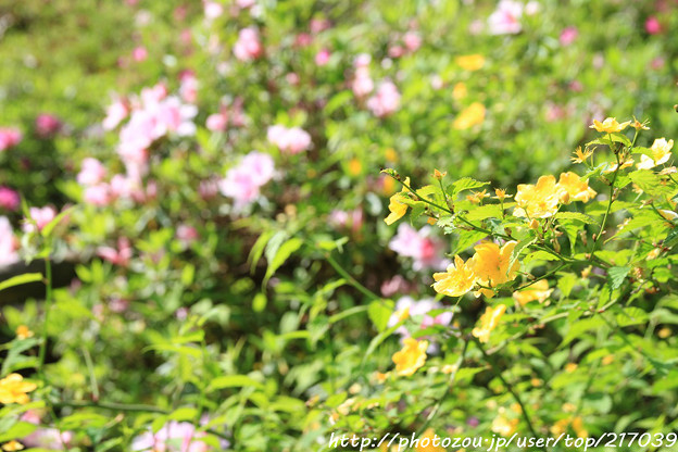 IMG_8280花の郷 滝谷花しょうぶ園・山吹と平戸躑躅