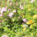 写真: IMG_8280花の郷 滝谷花しょうぶ園・山吹と平戸躑躅