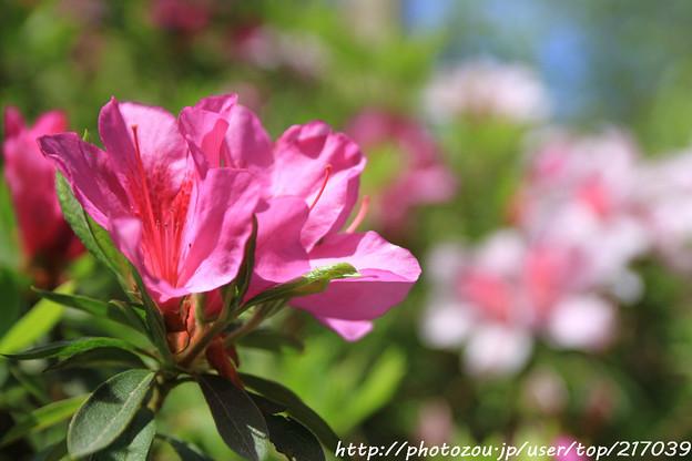 IMG_8283花の郷 滝谷花しょうぶ園・平戸躑躅
