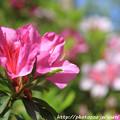 写真: IMG_8283花の郷 滝谷花しょうぶ園・平戸躑躅