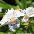 写真: IMG_8289花の郷 滝谷花しょうぶ園・射干