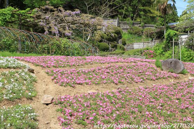 IMG_8299花の郷 滝谷花しょうぶ園・芝桜と藤