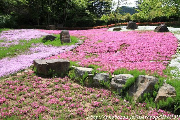 IMG_8301花の郷 滝谷花しょうぶ園・芝桜