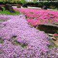 写真: IMG_8302花の郷 滝谷花しょうぶ園・芝桜