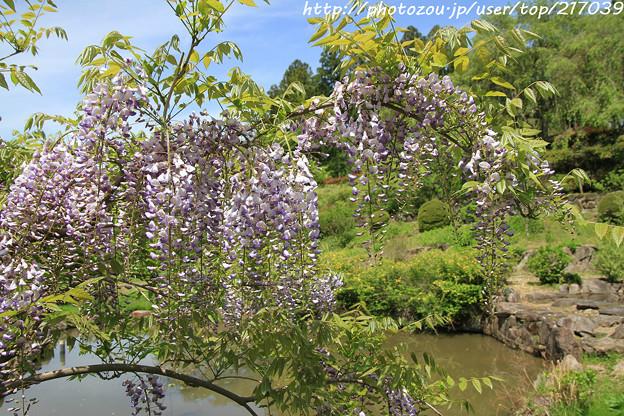 IMG_8311花の郷 滝谷花しょうぶ園・藤