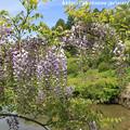 写真: IMG_8311花の郷 滝谷花しょうぶ園・藤