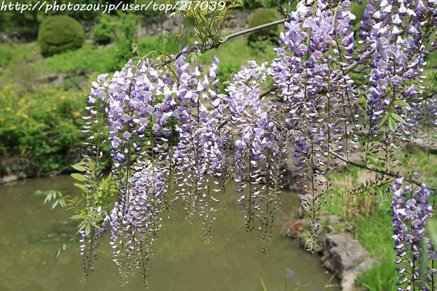 IMG_8312花の郷 滝谷花しょうぶ園・藤