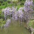 写真: IMG_8312花の郷 滝谷花しょうぶ園・藤