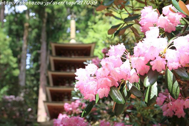 IMG_8355室生寺・石楠花と五重塔(国宝)