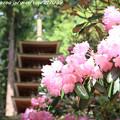 写真: IMG_8355室生寺・石楠花と五重塔(国宝)