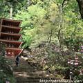 Photos: IMG_8357室生寺・五重塔(国宝)と石楠花