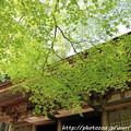 写真: IMG_8369室生寺・いろは紅葉と本堂(潅頂堂)(国宝)