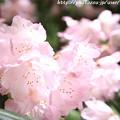 写真: IMG_8387室生寺・石楠花