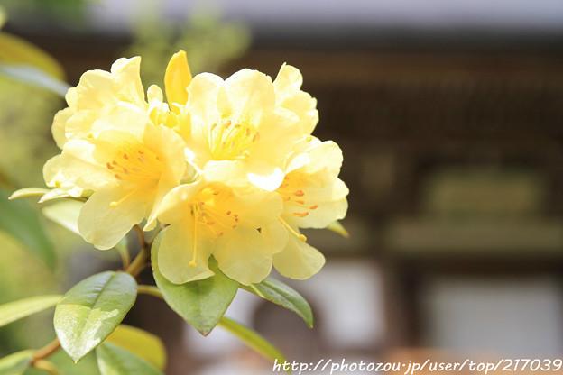 IMG_8396室生寺・石楠花