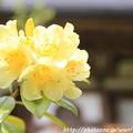 Photos: IMG_8396室生寺・石楠花