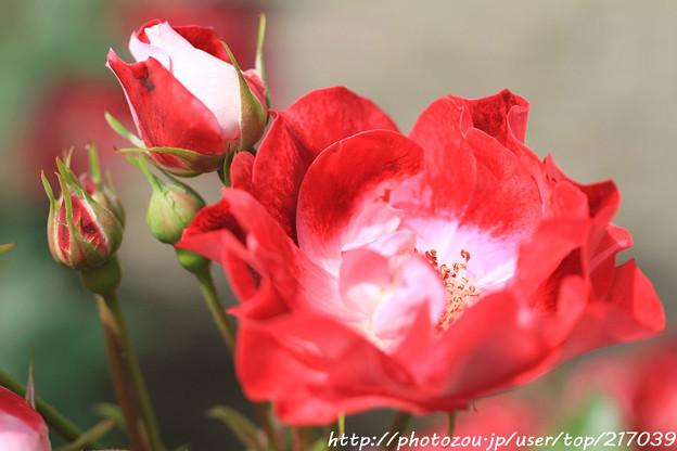 IMG_8420薔薇