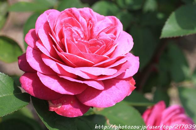 IMG_8431薔薇(ハイデ・クロム・ローズ)